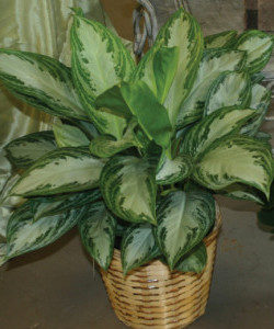 "8"" Silver Queen plant in a basket"