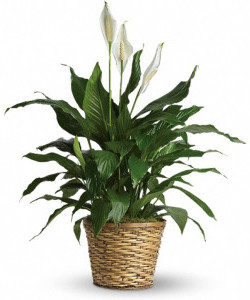 Peace Lily in Basket