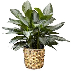 PL 3 Chinese evergreen 10 inch